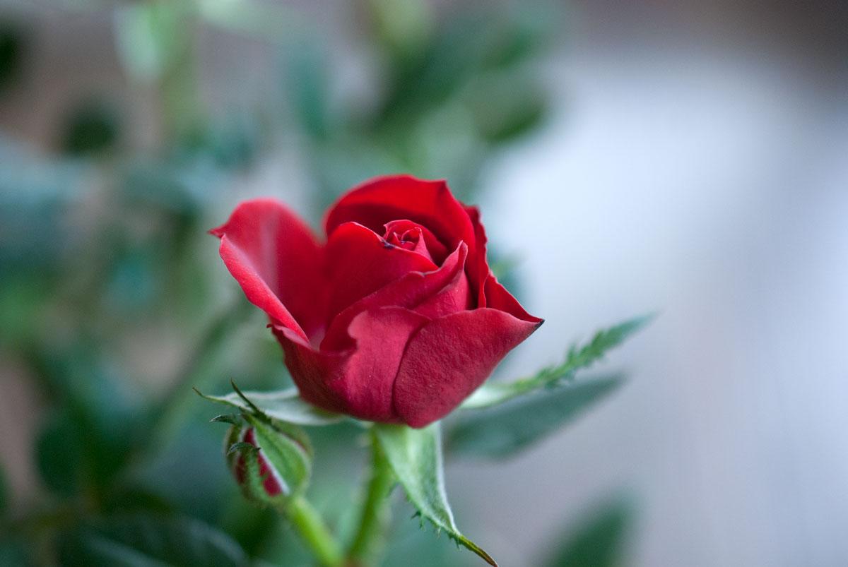 Rosen zum Weltfrauentag?